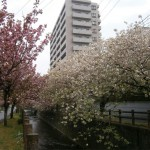 中野川の八重桜