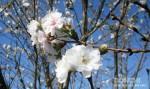 三隈川の桜が満開
