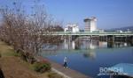 三隈川の桜