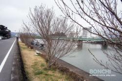 三隈川の四季桜が開花