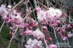 豊後・大山ひびきの郷の桜