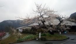 ひびきの郷の古木は、ほぼ満開