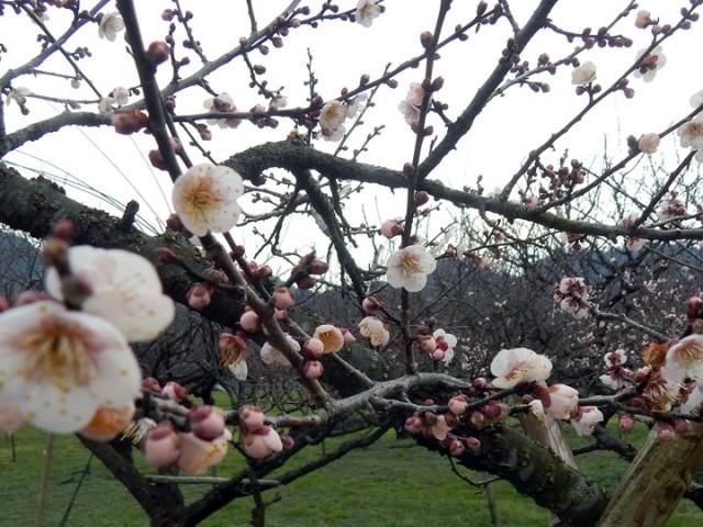 咲いたのは、2~3本の梅ノ木です