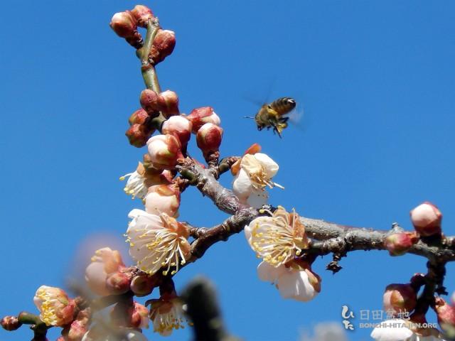 暖かい陽気で、ミツバチも忙しく飛び回っています